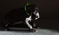 Shadowy dog black great dane puppy that is on a dark corner Royalty Free Stock Images