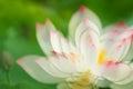 Shadowy lotus Royalty Free Stock Photo