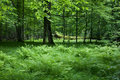 Shady deciduous stand of bialowieza forest in springtime with fresh green grassy bottom and ferns poland europe Royalty Free Stock Images