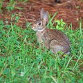 Shady rabbit cottontail on the edge of the grass and pine needles Stock Photography