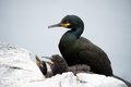 Shag Sea Bird Royalty Free Stock Photo