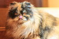 Shaggy colorful persian cat with her tongue hanging out Stock Photos