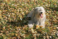 Shaggy dog. Royalty Free Stock Images