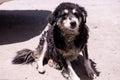 Shaggy dog in leh india Stock Photos