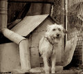 Shaggy dog pretty on chain in booth among trash and outbuildings outdoors monochrome toned Royalty Free Stock Photos