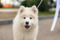 Shaggy dog  white big with his tongue hanging out Royalty Free Stock Images