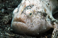 Shaggy Frogfish Royalty Free Stock Photo