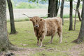 Shaggy highland cattle outdoor portrait of a looking at the viewer amond spring trees and plowed farmland Stock Images