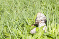 Shaggy ink cap inedible mushroom at autumn Royalty Free Stock Photos