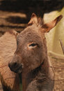 A shaggy little donkey rubbing his head against the fencepost Royalty Free Stock Images