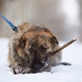 The shaggy mongrel gnaws a stick Royalty Free Stock Photo