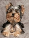 Shaggy puppy of the yorkshire terrier on textile background Stock Photo