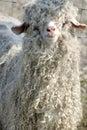 Tupido oveja