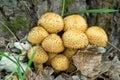 Shaggycap Mushrooms (Pholiota ...