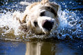 Shaking golden retriever dog Royalty Free Stock Photo