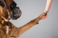Shaking hand with boxer dog Stock Image