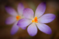 Shallow croci extremely focused close up of purple and white crocuses an early bloomer and an iconic harbinger of spring and Royalty Free Stock Photography