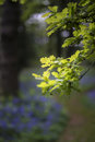 Shallow depth of field landscape of vibrant bluebell woods in Sp