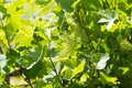 Shallow DOF vine sprout with young grape cluster Royalty Free Stock Photo
