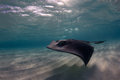 Shallow Water Stingray Royalty Free Stock Photo