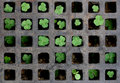 Shamrock chess Royalty Free Stock Photography