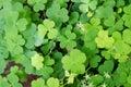 Shamrock-Three leaf clovers Royalty Free Stock Photo