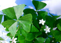 Shamrocks for St. Patty Royalty Free Stock Photos