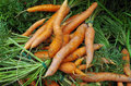 Shapely carrots and carrot tops farm fresh displayed for market Royalty Free Stock Photo