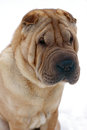 Shar-pei dog Royalty Free Stock Photo