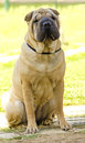 Shar pei dog a beautiful young red fawn chinese sitting on the lawn distinctive for its deep wrinkles and considerd to be a very Stock Image