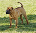 Shar pei dog a beautiful young red fawn chinese standing on the lawn distinctive for its deep wrinkles and considerd to be a very Stock Image