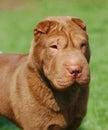 Shar-pei dog portrait Royalty Free Stock Photo