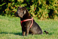 Shar-pei dog  portrait Royalty Free Stock Photo