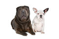 Shar-Pei and a French Bulldog puppy Royalty Free Stock Images