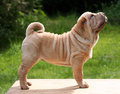 Shar pei male puppy standing Royalty Free Stock Photos