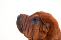 Shar pei after plastic surgeny Stock Photos