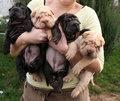 Shar pei puppies in hand Stock Photography
