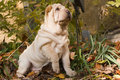 Shar-Pei Puppy Stock Images