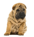 Shar pei puppy sitting and looking down weeks old isolated on white Royalty Free Stock Photography