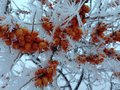 Shards of ice spikes frost on a berry bush in the winter Stock Photography