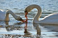 Sharing swans swan couple eating sea weed Royalty Free Stock Image