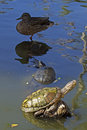 Sharing turtles a log floating in a pond with a duck Royalty Free Stock Image