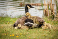 Sharing a warm space baby goslings under mom s wings Royalty Free Stock Image