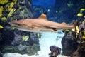 Shark Royalty Free Stock Photo