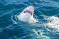 Shark attack the great white jumping out of water Stock Image
