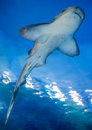 Shark from bottom view image of shot the Royalty Free Stock Images