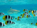 Shark and butterfly fish Royalty Free Stock Photo