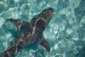 Shark in clear water of the reef, Heron Island Australia Royalty Free Stock Photo