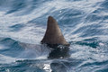 Shark fin above water Royalty Free Stock Photo