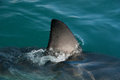 Shark fin a great white sharks cuts through the waters surface south africa Stock Photo